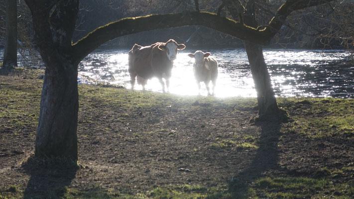Wir teilen uns das Revier mit Kälbern, Kühen und einem Stier - reimt sich sogar...