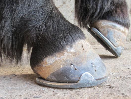 Hinterbeschläge bei einem Pony