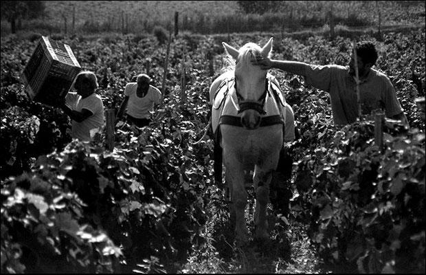 Raccolta uva a cavallo