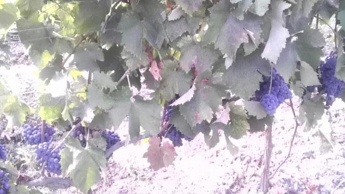 Uva Gaglioppo in maturazione