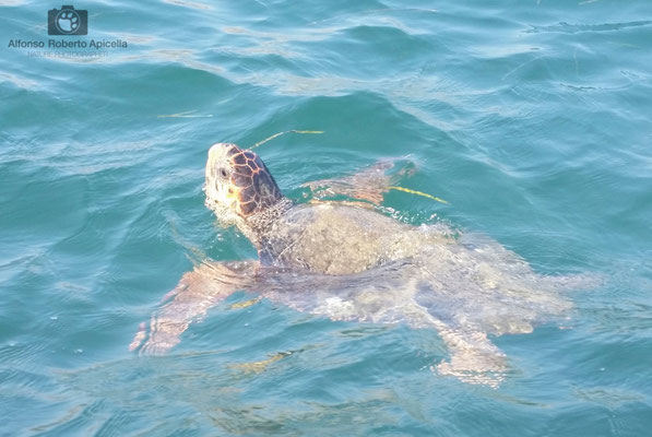 Tartaruga Caretta Caretta - Isola di Kefalonia - Grecia
