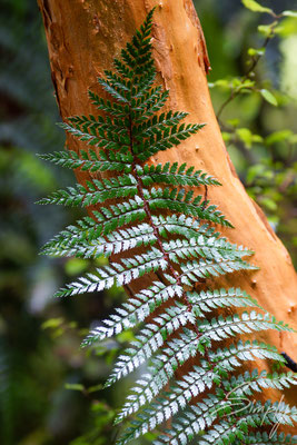 Neuseeländisches Farnblatt mit intensivem grün vor einem rötlichen Baumstamm in mitten des Urwaldes