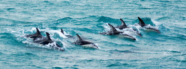 Kaikoura, Dusky Dolphins Schule