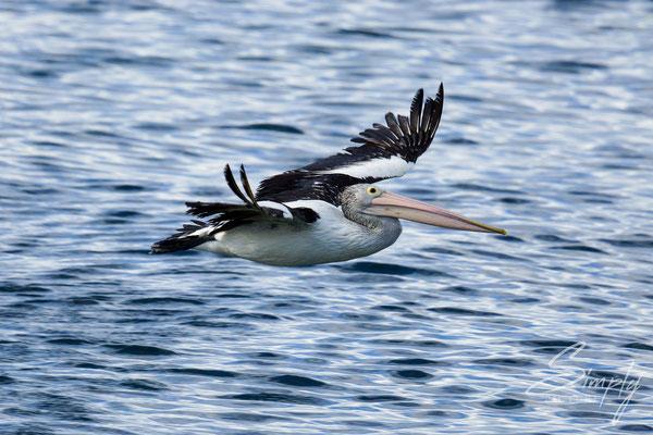 Fliegender Pelikane, auf Kangaroo Island