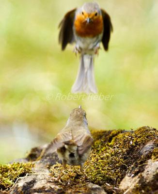 Rotbrüstchen, Erithacus rubecula, Robin