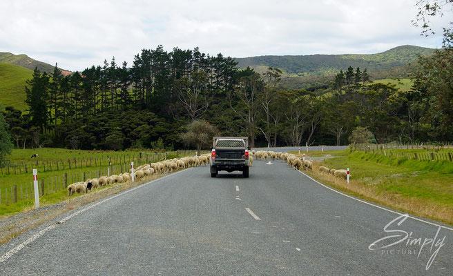 State Highway 1F-Te Kao, viele Schaffe stehen auf der Strasse und blockieren ein Auto