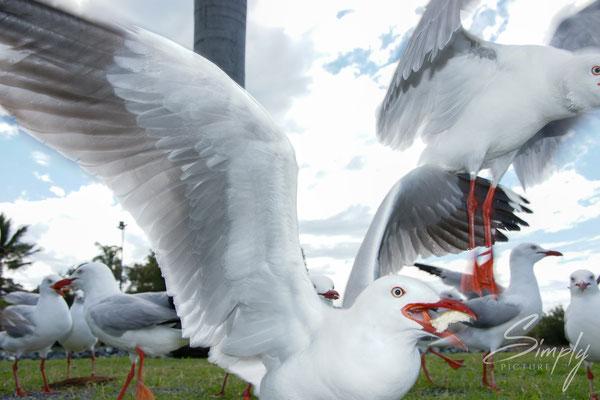 Queensland, Airlie Beach, Airlie Esplanade, Möven beim Essen im Fairy Tree Park