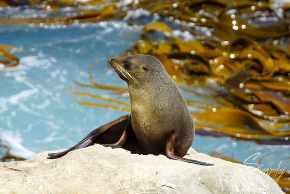 Ohau Point Look Out, Seal auf einem Felsen, das Meer mit Tang und Brandung im Hintergund