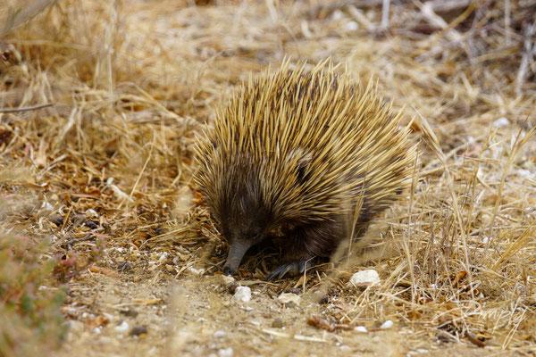 Schnabeligel auf Kangaroo Island