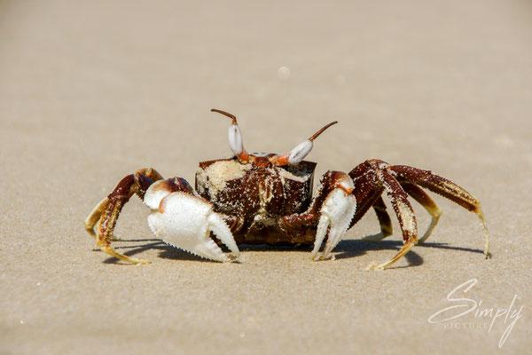 Quensland, Krabe am Strand beim laufen