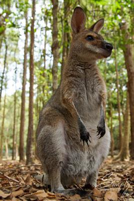 Kangaroo im Wald bei der Futtersuche