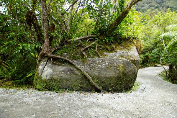 Fox Glacier, Stein mit zwei auf ihm wachsenden Bäumen und einem grossen Spalt