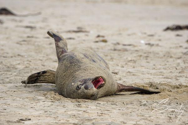 Owaka, Catlins, Surat Bay, Seal rollt sich im Sand und gähnt