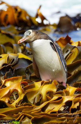 Petrified Forest Curio Bay, Yellow Eyed Penguin kommt gerade aus dem Meer und läuft über den gelb-braunen Seetang