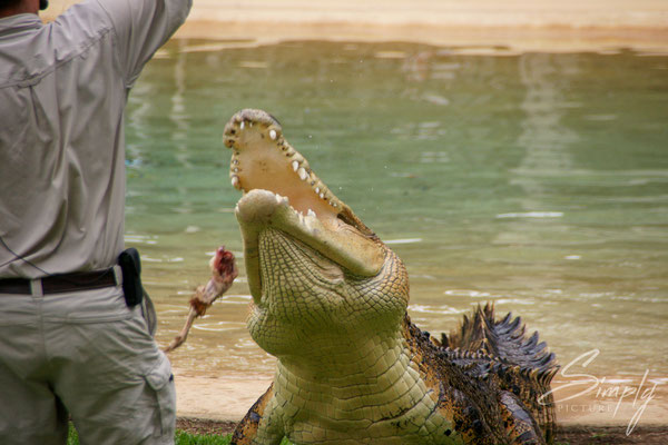 Queensland, Australia Zoo, Reptile, Saltwater Crocodile bei der Fütterung-der Wärter ist ebenfalls im Gehege