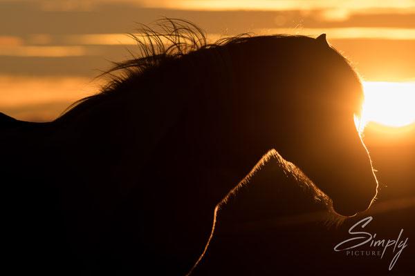 Isländisches Pferd vor einem traumhaften Sonnenuntergang und wallender Mähne.