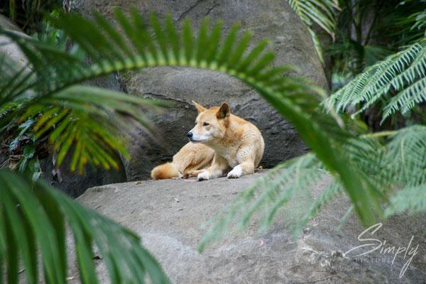 Queensland, Dingo auf Felden hinter einige Palmwedeln