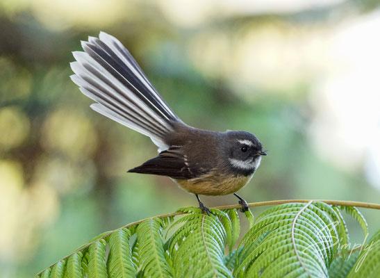 Russell, Wainui Lodge BBH, Fantail Vogel sitzt auf einem Farn