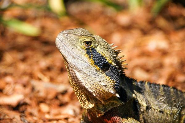 Queensland, Brisbane, South Bank Park, Reptil beim Sonnenbaden