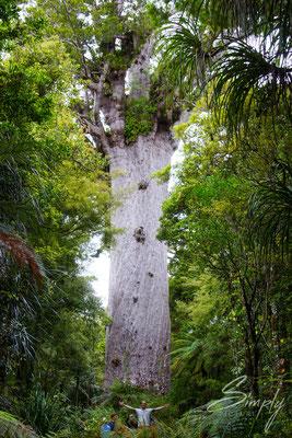 Waipoua, Kauri Forest-Robert Reber von dem grossen Tāne Mahuta und umrandet von vielen weiteren Bäumen
