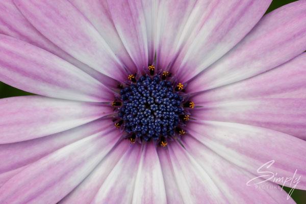 Violette Blütte mit  dunkel-violett-blauem inneren