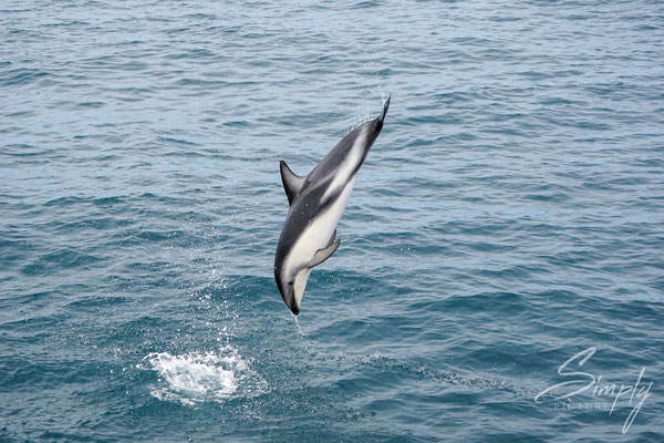 Kaikoura, Dusky Dolphin im Sprung
