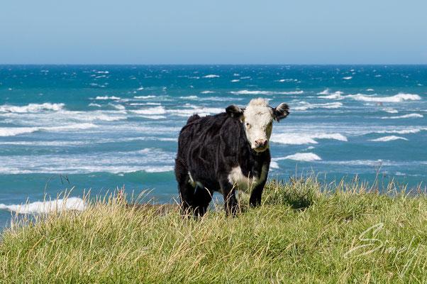 East Cape Lighthouse, braun-weisse Kuh steht auf einer saftigen Wiese, im unmittelbaren Hintergrund ist die Brandung des Meeres