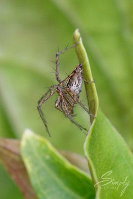 Queensland, kleine australische Springspinne auf einem grünen Blatt, Makrofoto