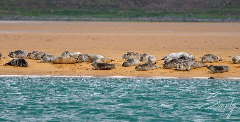 Robben-Kolonie am entspannen am Strand.