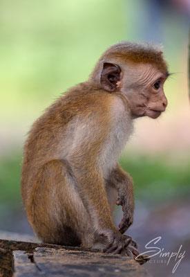 Junger Makake im Wilpattu National Park