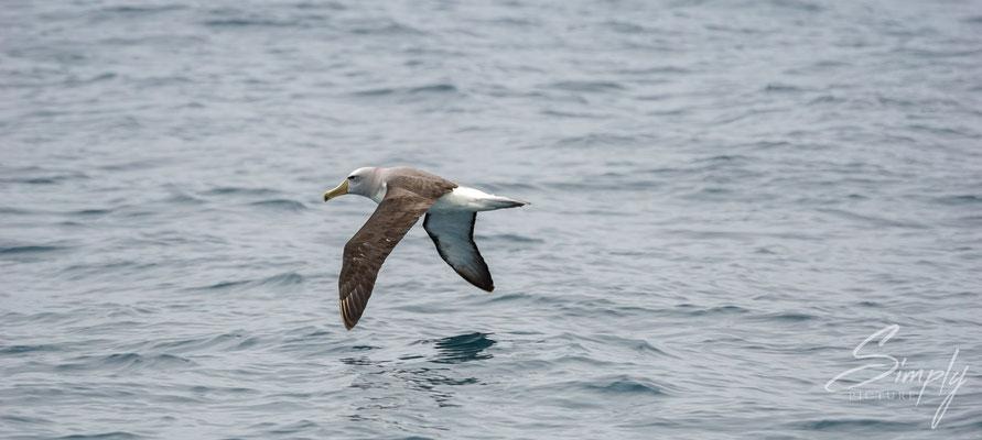 Kaikoura, Albatross im Flug über dem ruhigen Meer