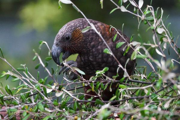 Otago, Orokonui Ecosanctuary, Papagei, South Island kākā am Essen und Spielen im Baum