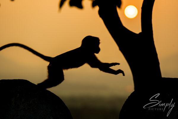 Junge Makaken-Affen spielen im Sonnenuntergang bei dem Goldenen Buddha in Dambulla
