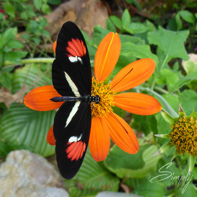 Schmetterlin auf oranger Blüte