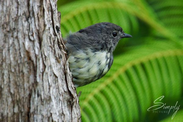 Motuara Island, Cape Jackson, Kakaruai, Robin, der Vogel klammert sich an einen Baum