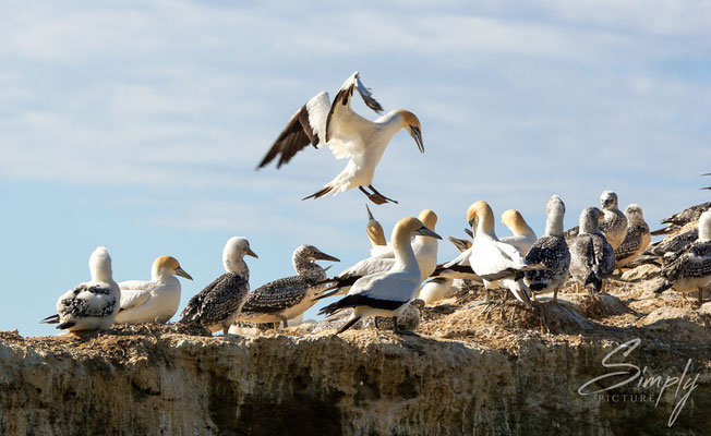 Napier-Hawke's Bay, Gannet Colony, viele Basstölpel am Brühten