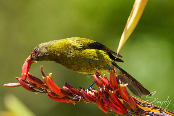 Bellbird am Nektartrinken bei roten Blüten