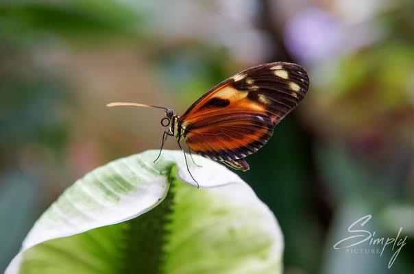 Gelb-rot-schwarzer Schmetterlin auf einem grünen Blatt