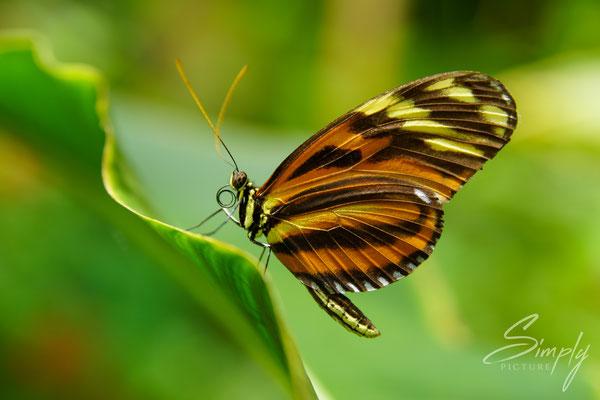 Rot-gelb-schwarzer Schmetterlin auf einem grünen Blatt