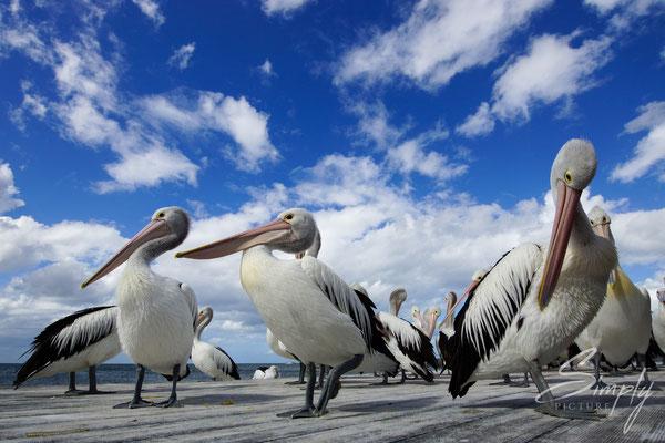 Pelikane, auf Kangaroo Island