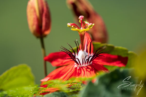 Prachtvolle Blüte in der Region der Teeplantagen
