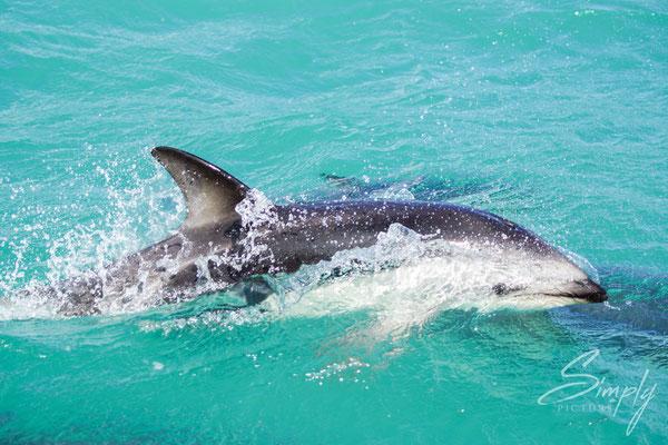 Kaikoura, Dusky Dolphins in hellbrauem Wasser