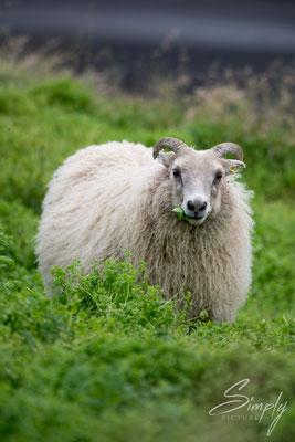 Isländisches Schafe am Essen im saftigen Feld.