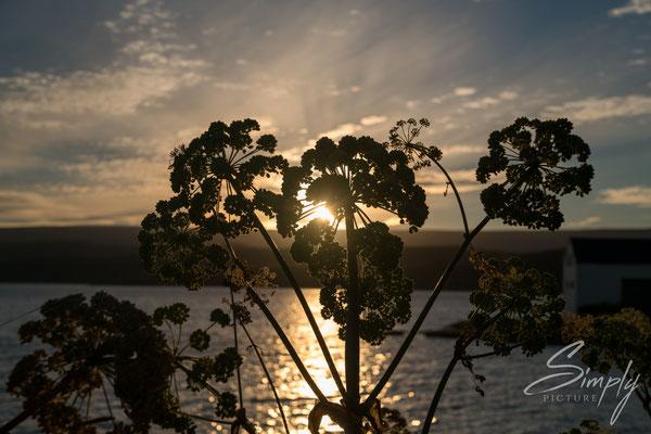 Getrocknete Angelika-Pflanzen-Blüten vor einem Sonnenuntergang.