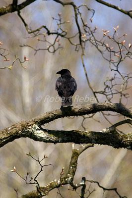 Kohlrabe, Corvus corax, Raven