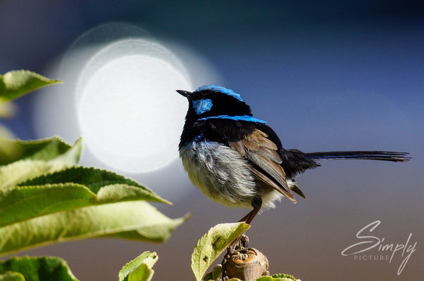 Blue Fairy Wrens