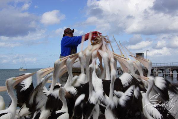 Pelikane bei der Fütterung, auf Kangaroo Island