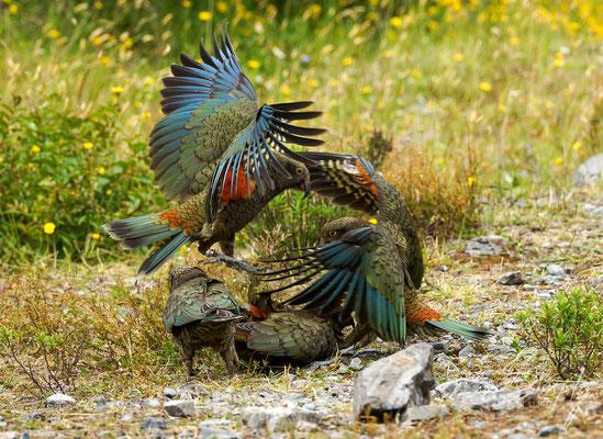 Arthur's Pass, zwei Kea's mit offenen Flügeln am freundschaftlich Kämpfen