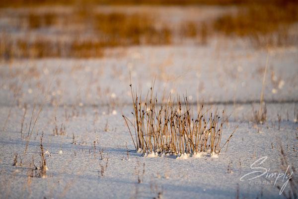 Schneefeld mit verdörrtem Gras zwischen der Ringstrasse und dem Strand Landeyjahöfn.