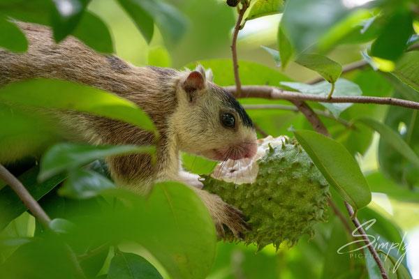 Sri Lanka Riesenhörnchen beim Essen